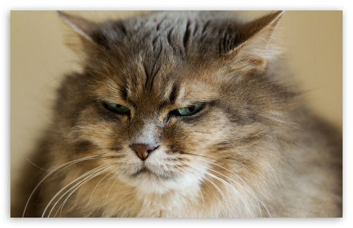Grumpy Cat HD wallpaper for Standard 43 54 Fullscreen UXGA XGA SVGA 510x330