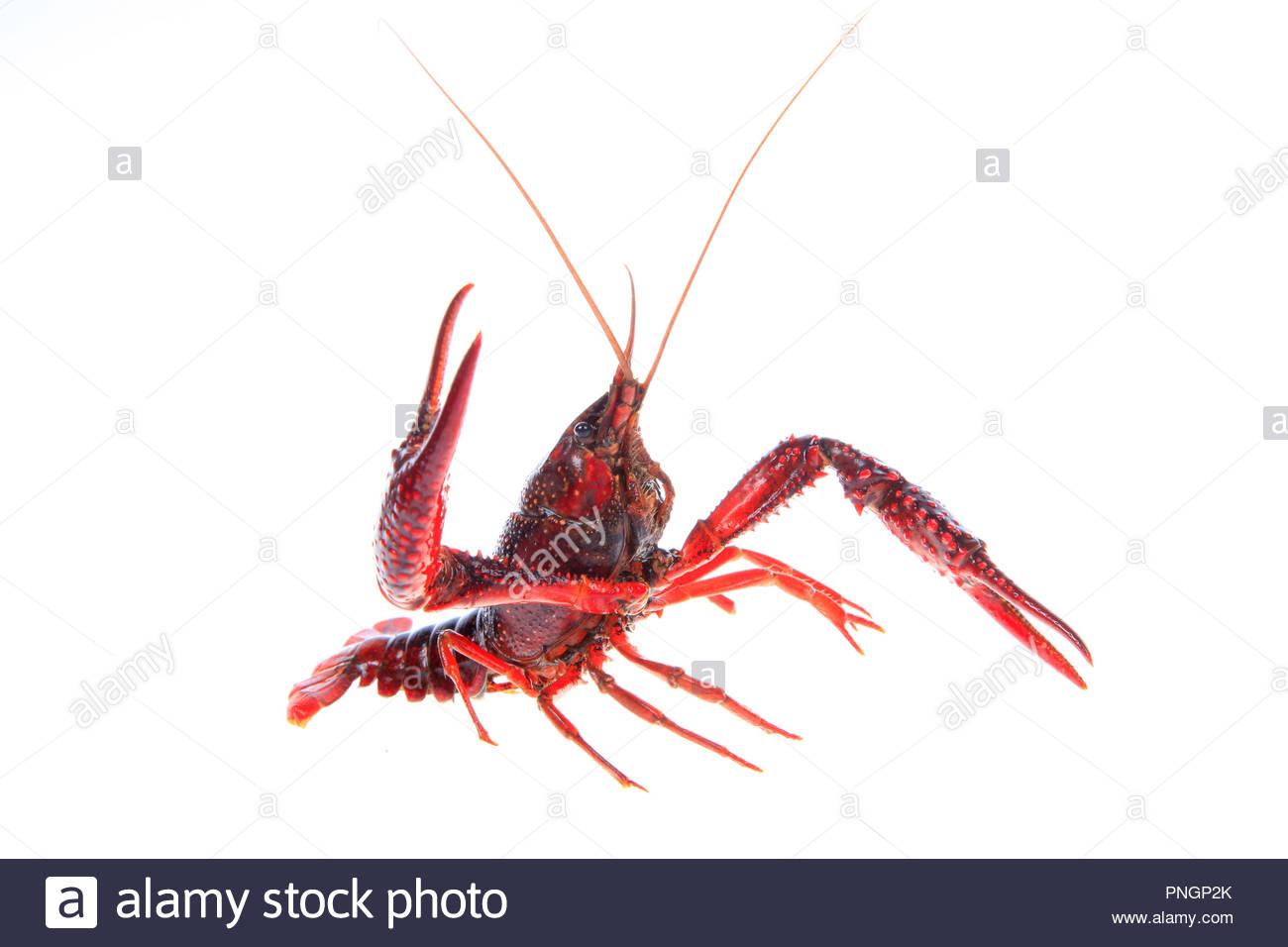 Crawfish white background close up Stock Photo 219800747   Alamy 1300x956