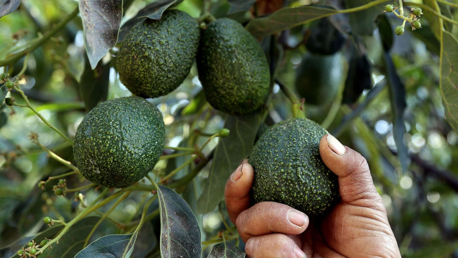 For National Avocado Day win a grove in Mexico or 5K to buy as 1600x900