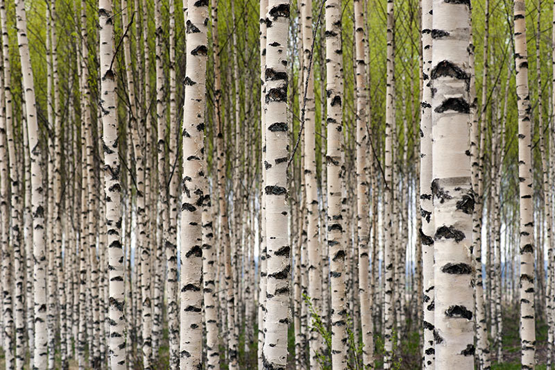 Grove of Birch Trees Wall Mural   Nature Wall Mural 800x533