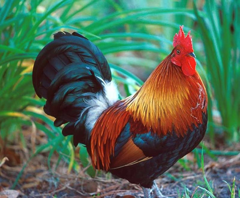 of roosters crowing and chickens images of chickens and eggs wallpaper 800x658