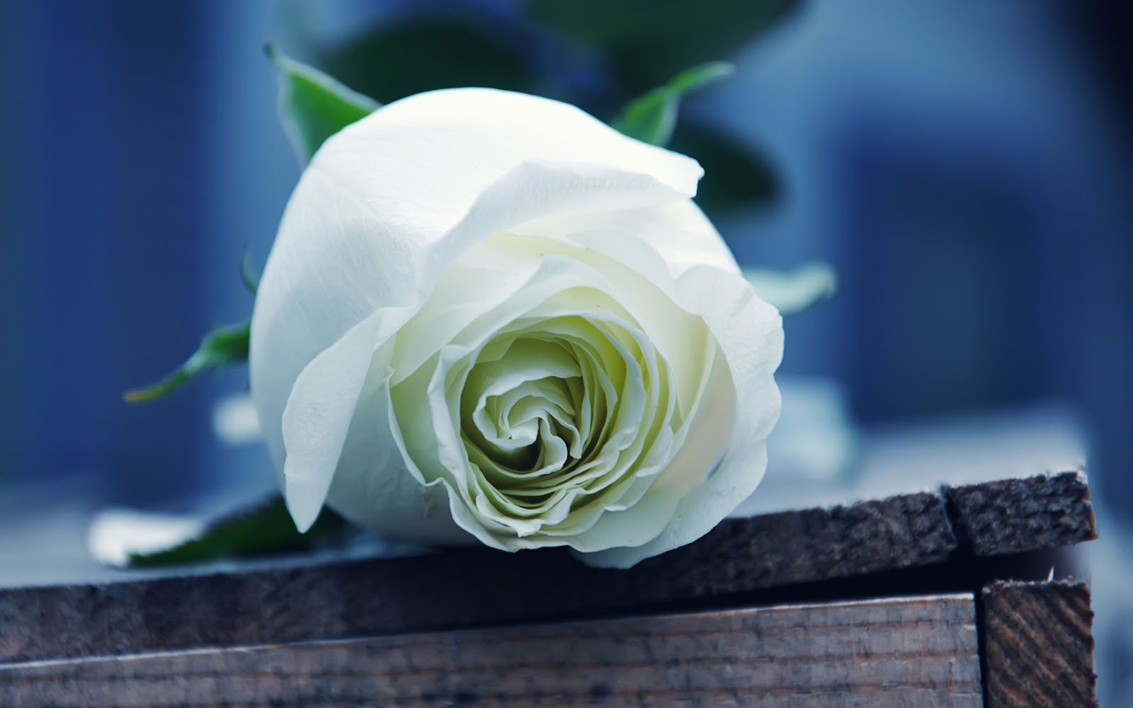 wallpapers White Rose Wallpapers 1600x1000