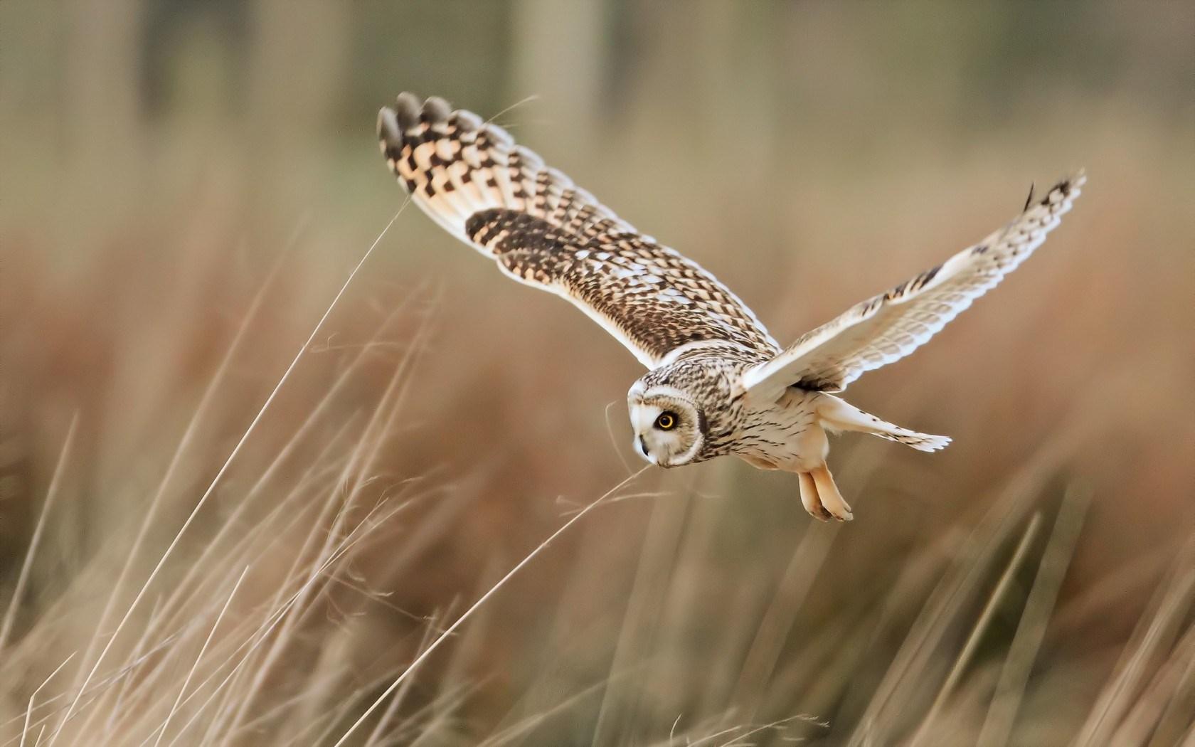 field bird owl flying wallpaper 1680x1050   Magic4Wallscom 1680x1050