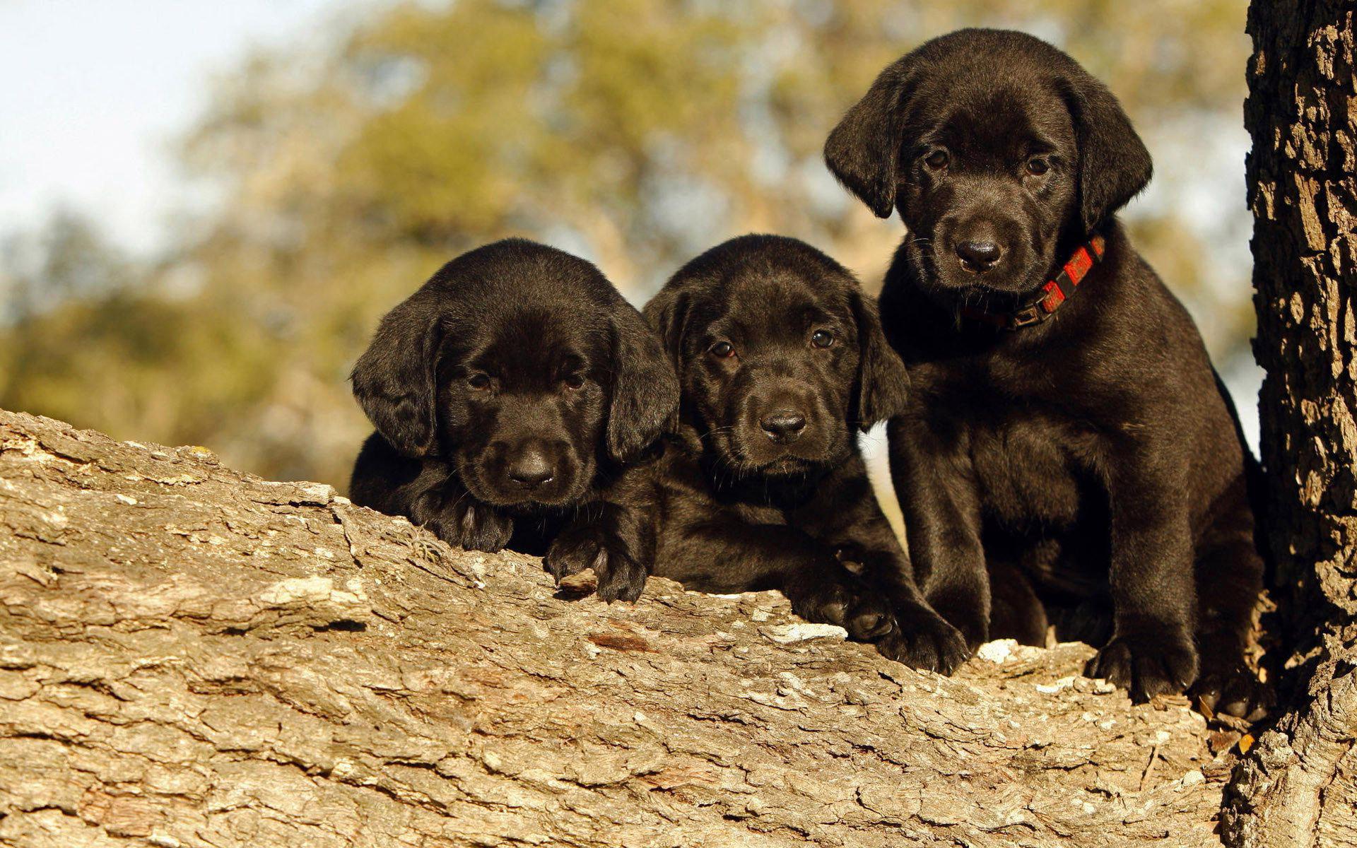 Pics Photos   Black Labrador Dog Wallpaper In 1920x1200 1920x1200