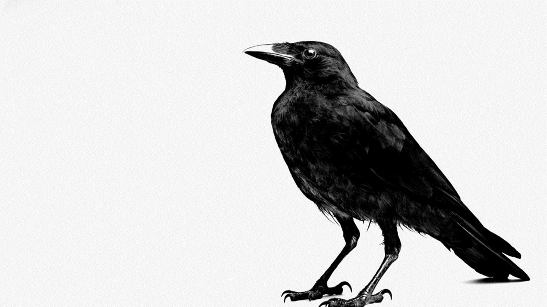 Black Crow Wallpaper Wallpapersafari HD Wallpapers Download Free Images Wallpaper [1000image.com]