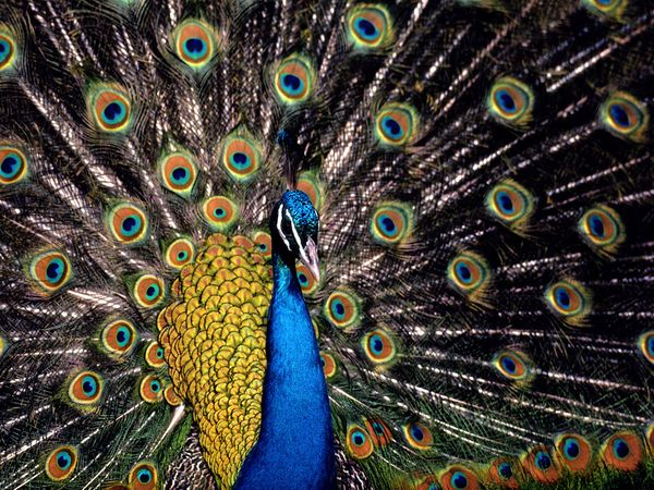 One of the most ostentatiously adorned creatures on Earth the peacock 600x450