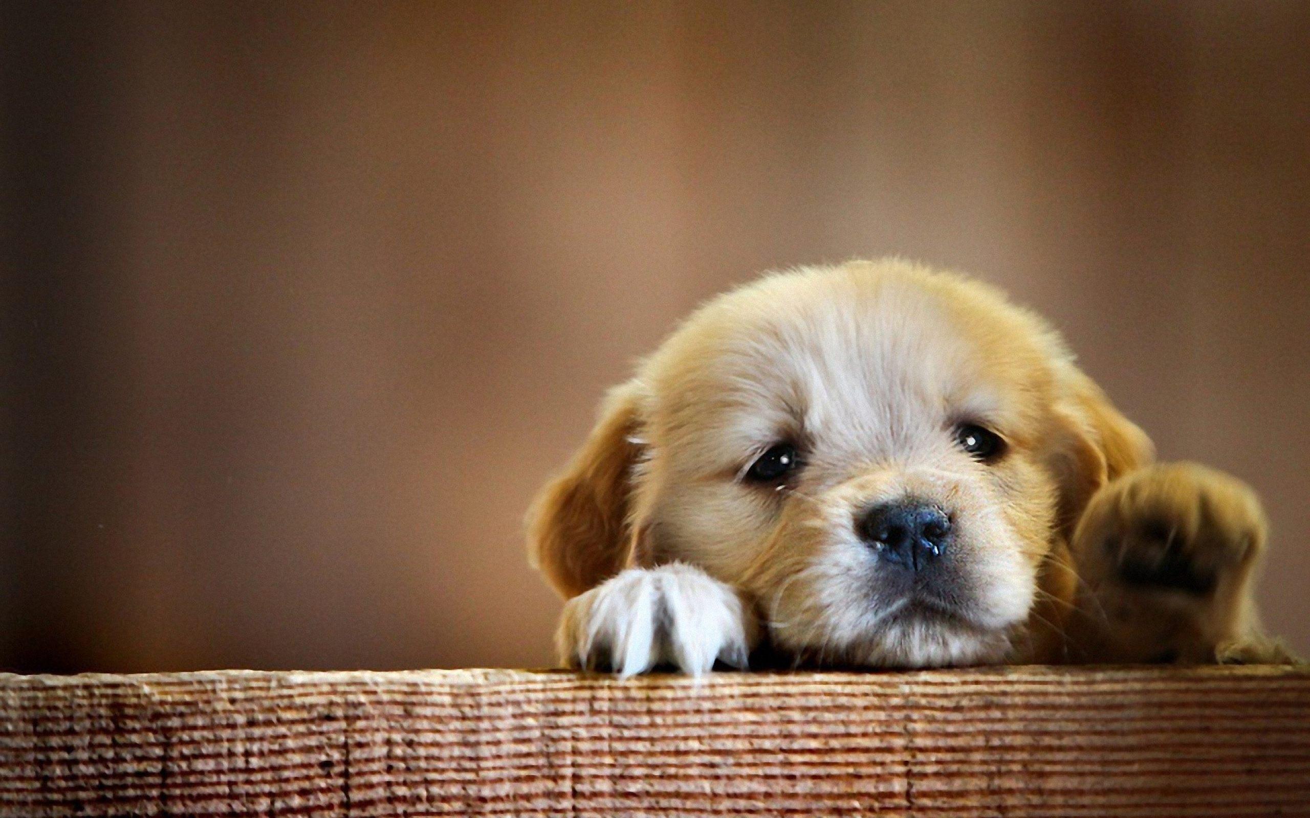 Dog Wallpaper   Golden Retriever puppy cute paws 2560x1600 2560x1600