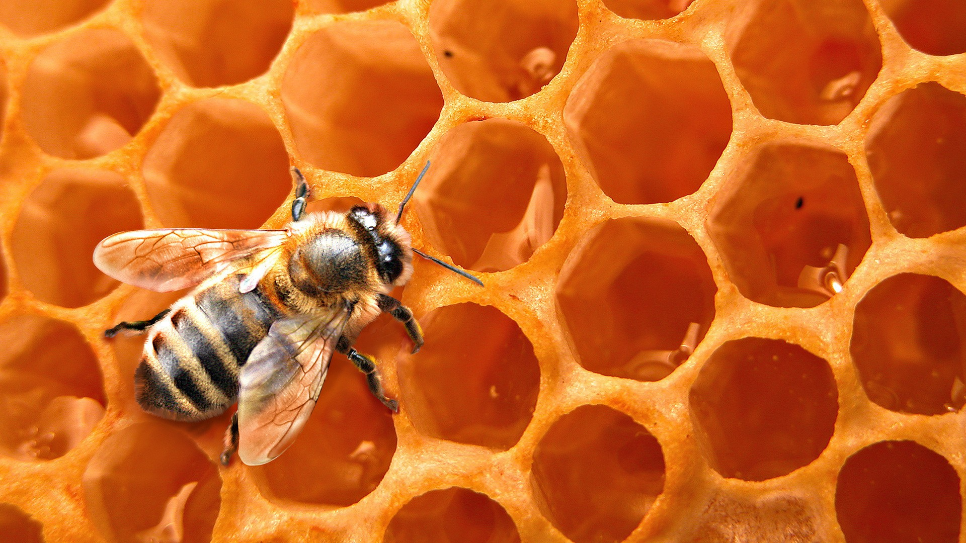 Honey Bees Wallpaper 1920x1080 Honey Bees 1920x1080