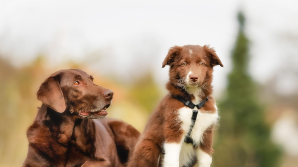 labrador wallpapers border collie backgrounds brown dog puppy 602x339
