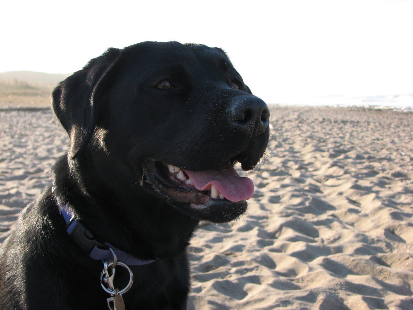 black labrador dog animals wallpapers dogs wallpapers black labrador 1600x1200