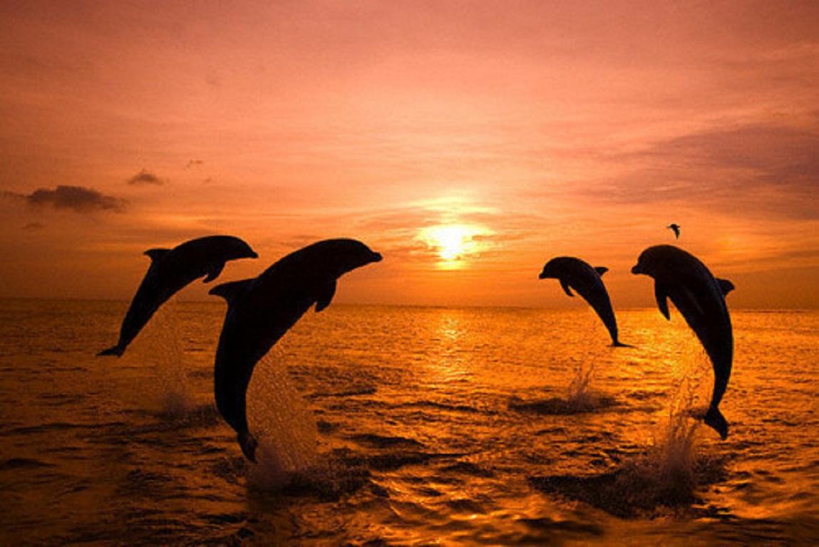 36 Wallpaper Dolphin Sunset On Wallpapersafari Hd wallpaper dolphins sunset sky pink