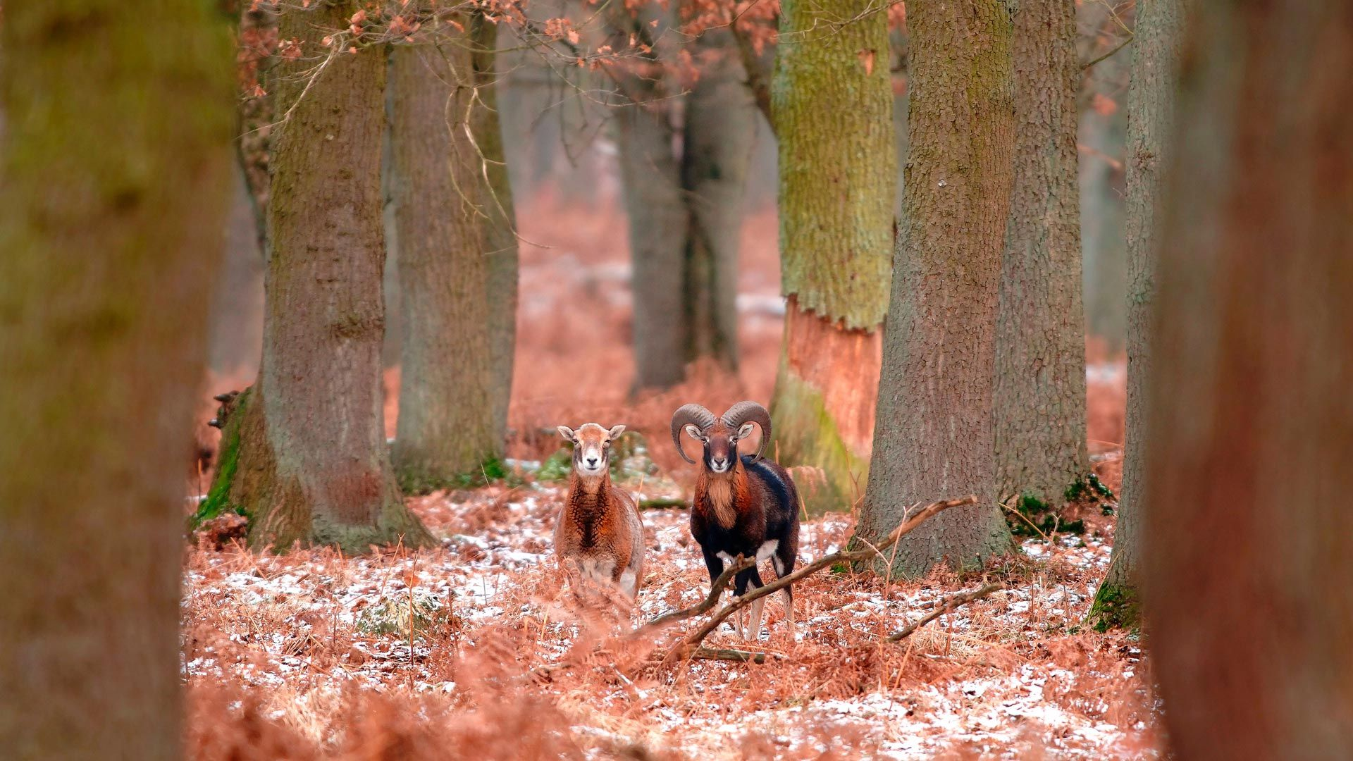 Mouflons in the forest tbkmediadeAlamy Bing Images Animals 1920x1080