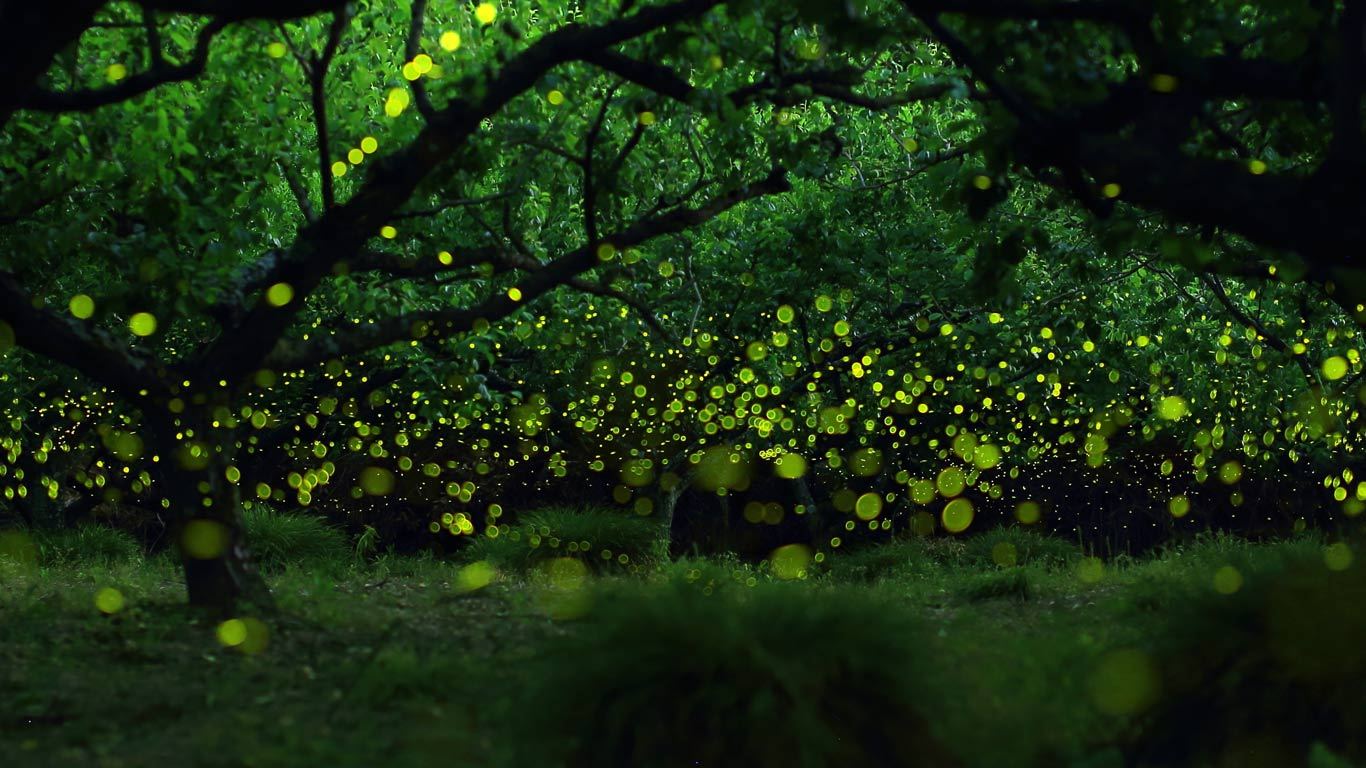 71 Fireflies Wallpaper On Wallpapersafari