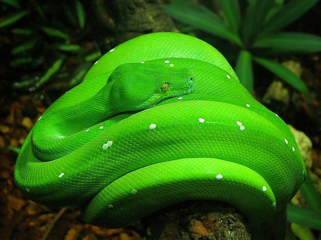 Cool snake wallpapers wallpapersafari - Green snake hd wallpaper ...