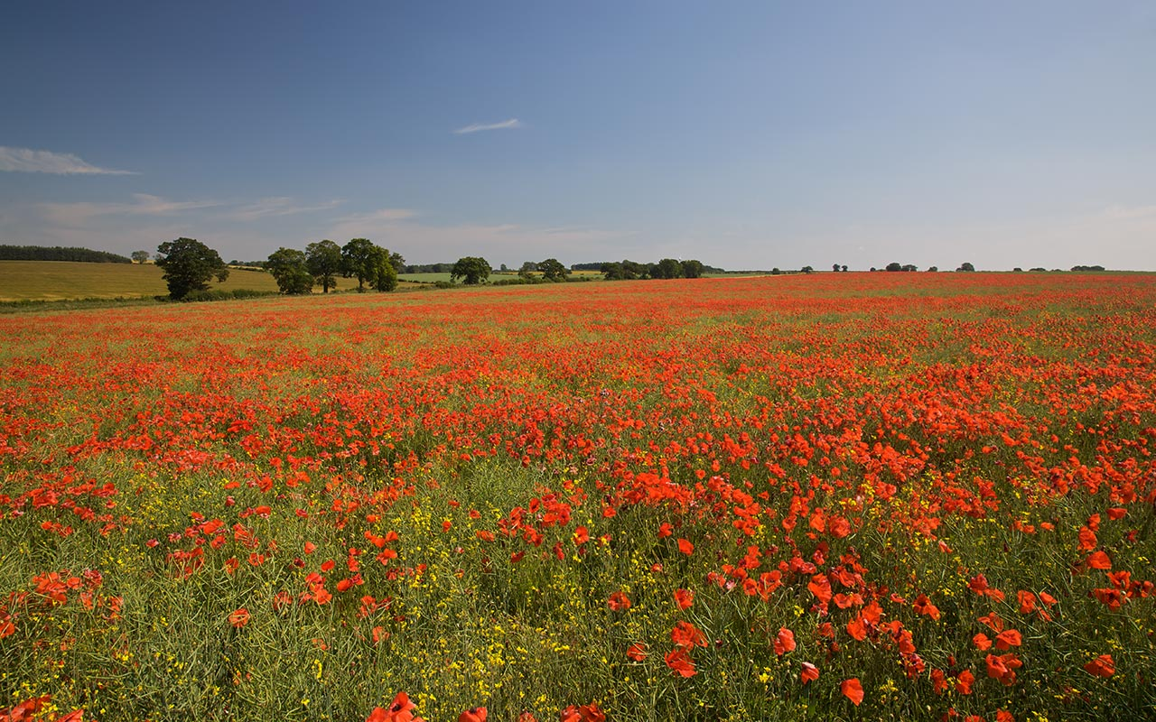 English landscape wallpaper of a field of red poppies in Norfolk UK 1280x800