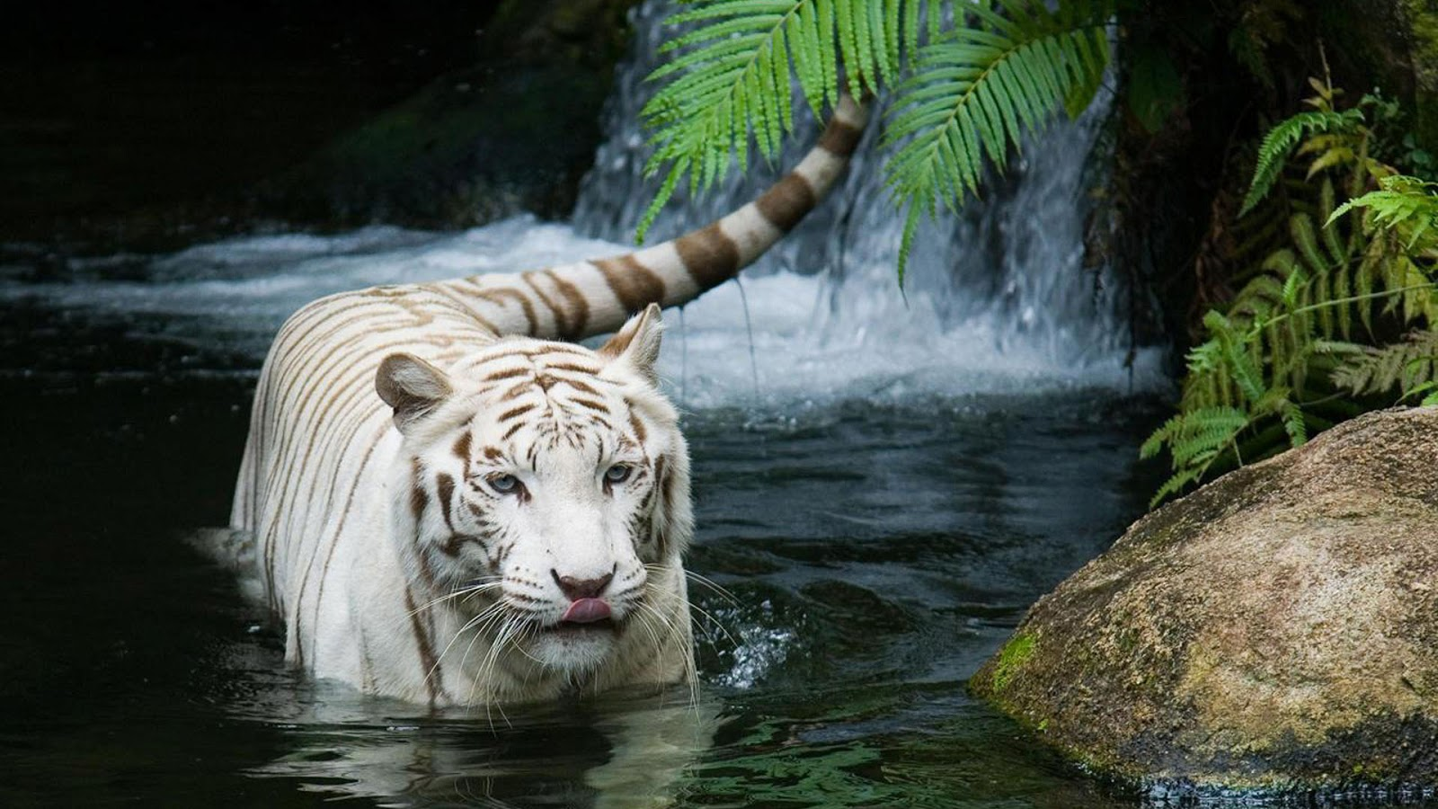 white tiger wallpapers and white tiger backgrounds for your desktop 1600x900