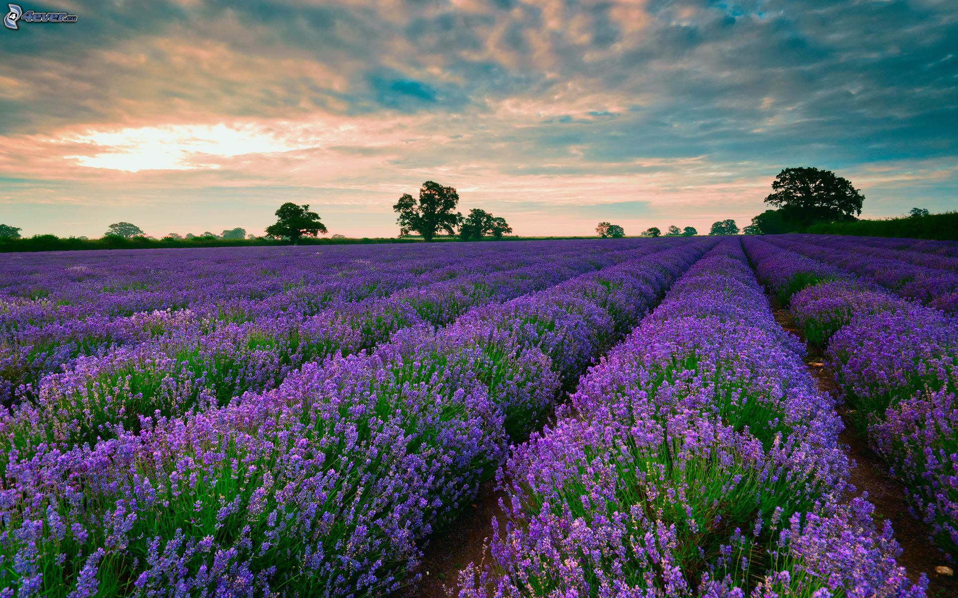 Lavender field 1920x1200