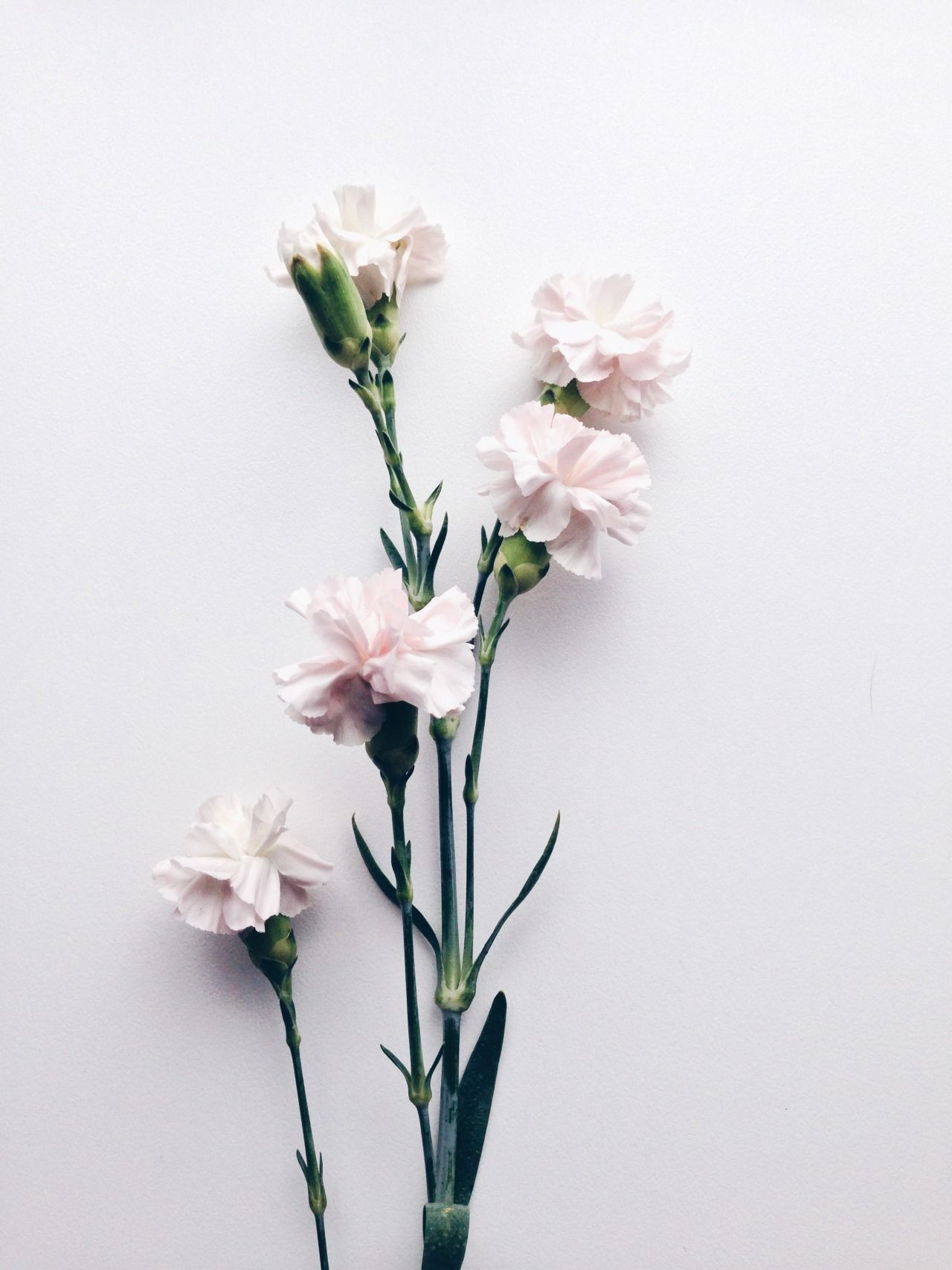 Trending Tumblr PATTERN Dianthus caryophyllus Month flowers 1280x1707
