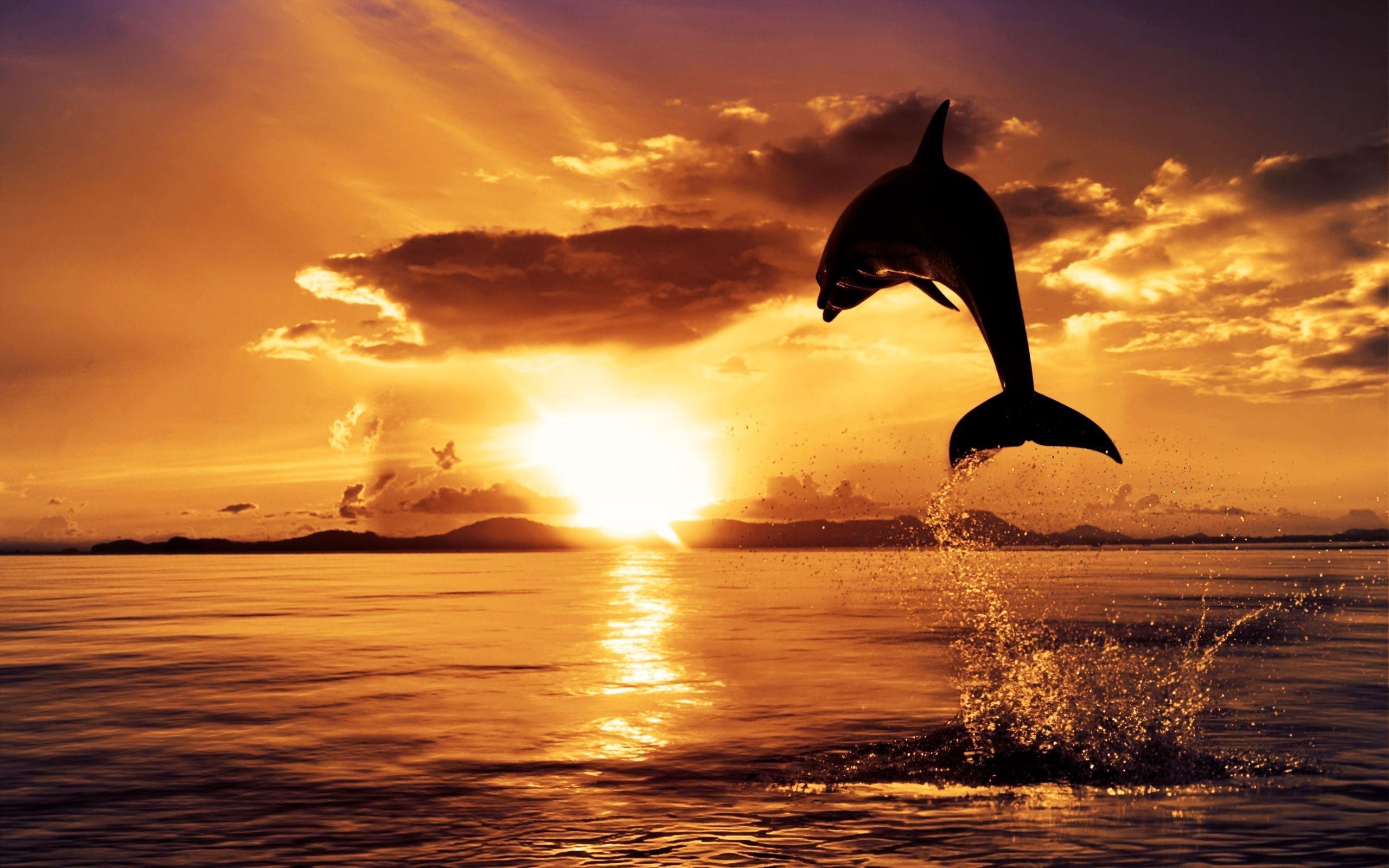 Beautiful Dolphin Jump Sunset Ocean HD Wallpaper 2560x1600