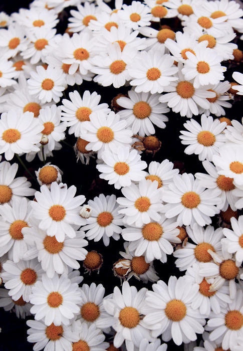 daisy field on Tumblr 485x700