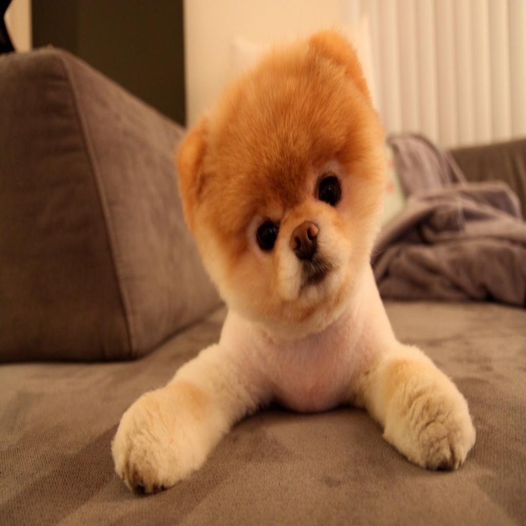 Boo wallpaper dog wallpapersafari - The cutest wallpaper ...