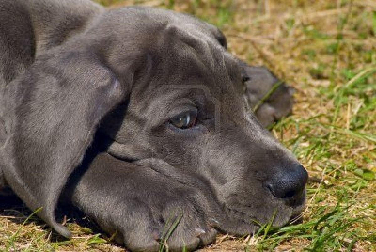 Great Dane Dog Wallpapers: Great Dane Wallpaper