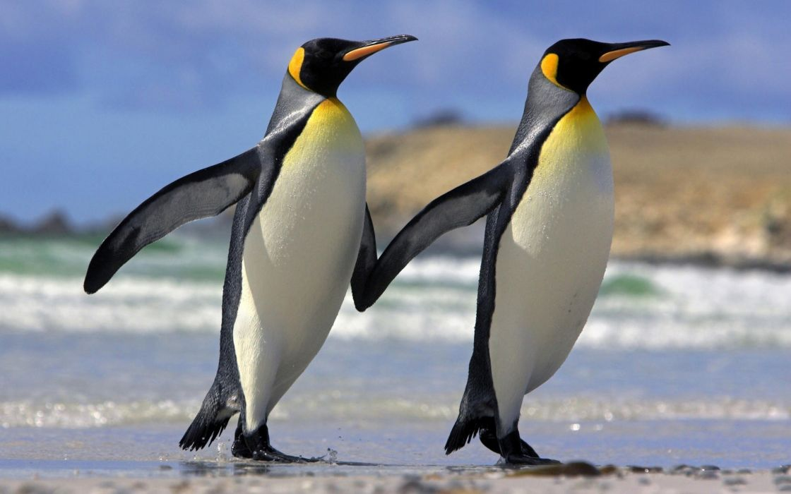 Penguin couple friendship love wallpaper 1920x1200 1084506 1120x700