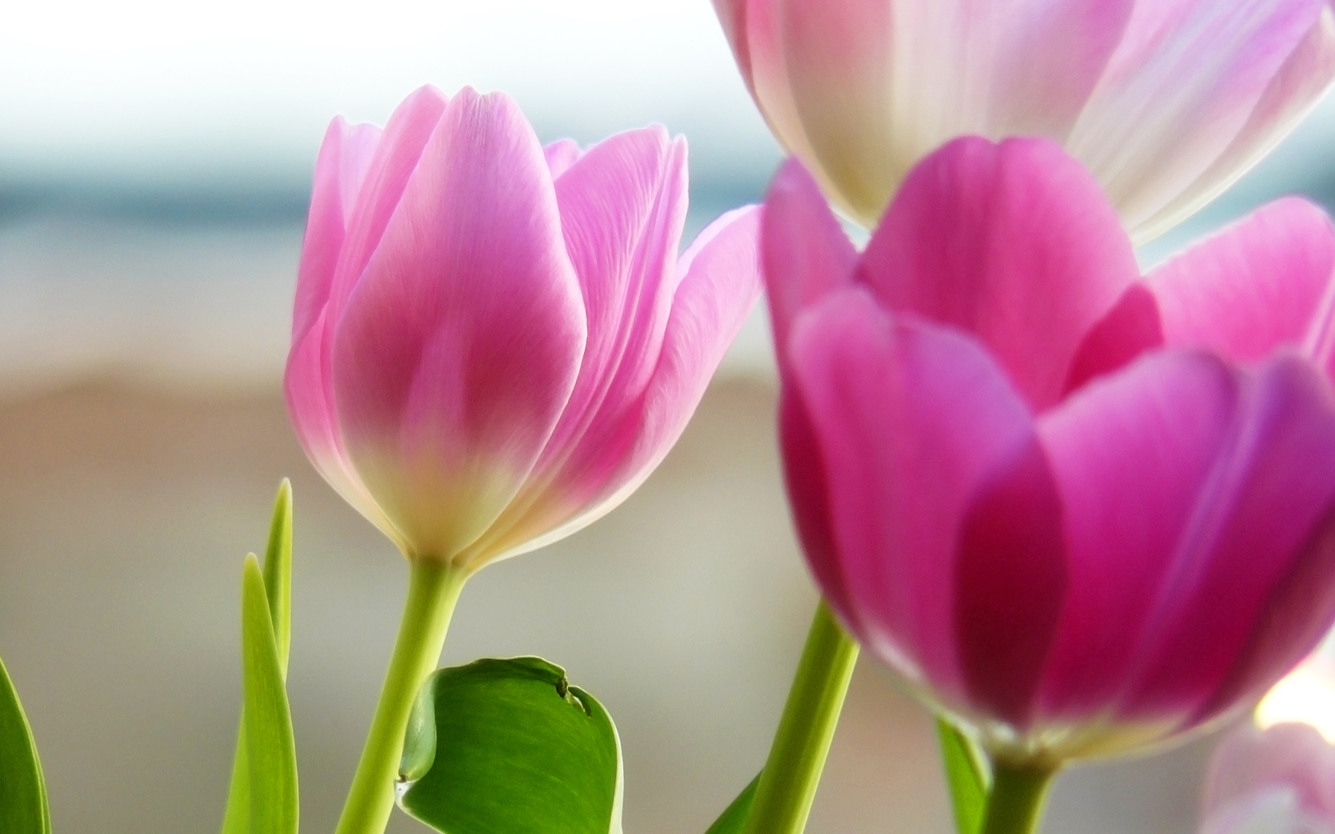 wallpaper widescreen definition high tulip 1920x1200