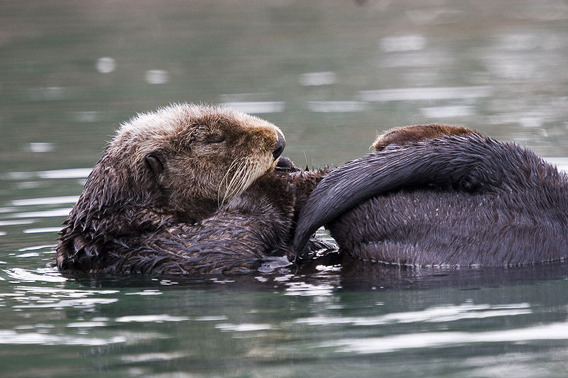 Sea Otter Pictures Wallpapers   Wallpaper 4 of 8 800x533