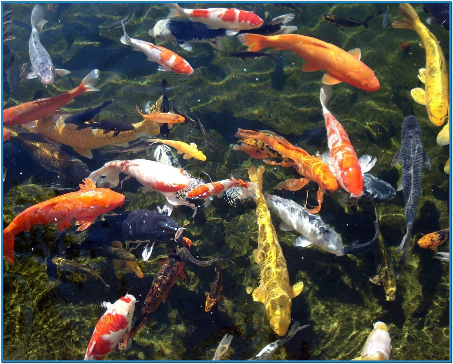Moving koi fish wallpaper wallpapersafari for Moving fish wallpaper