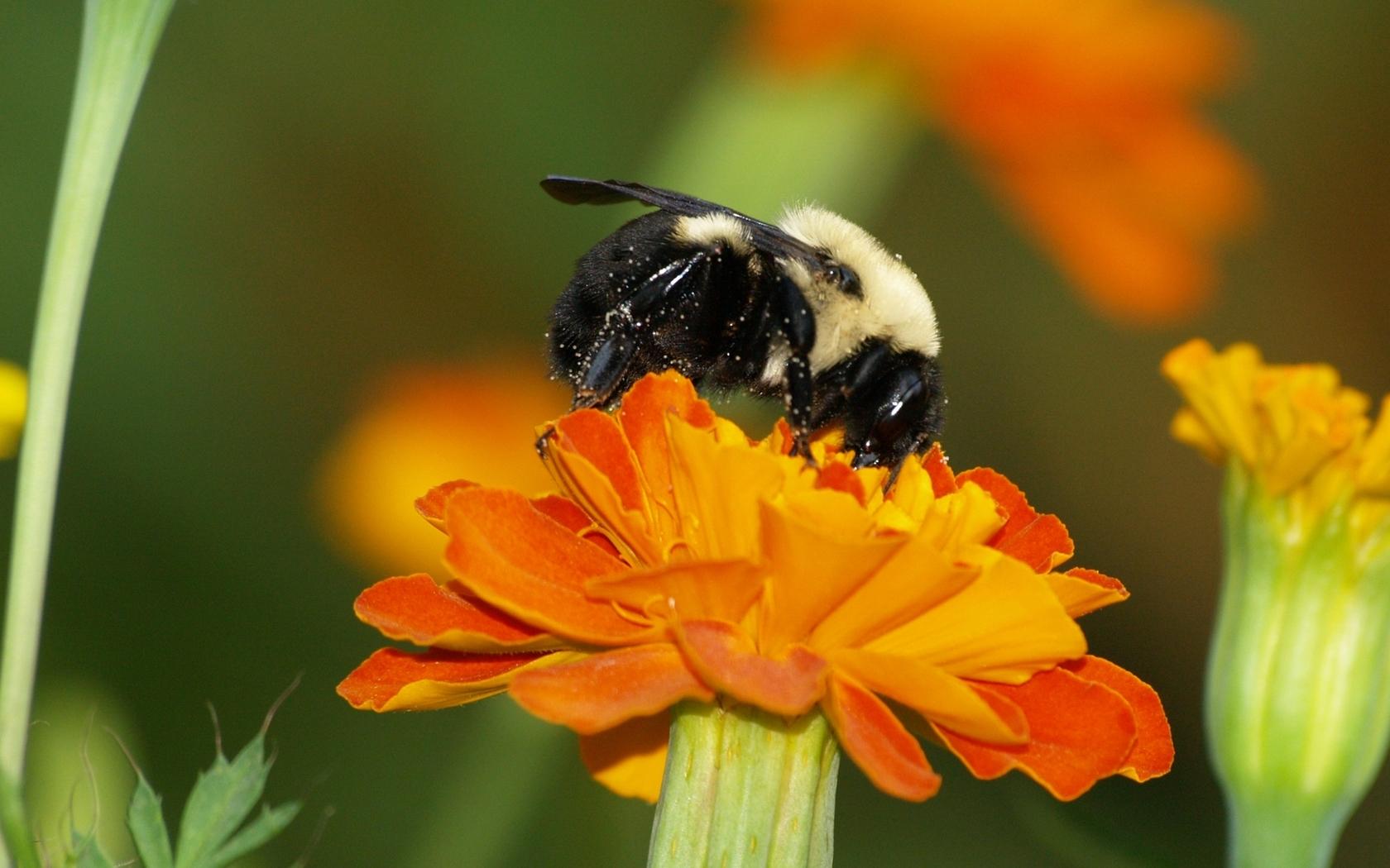 Marigold Bumblebee wallpaper 35202 1680x1050