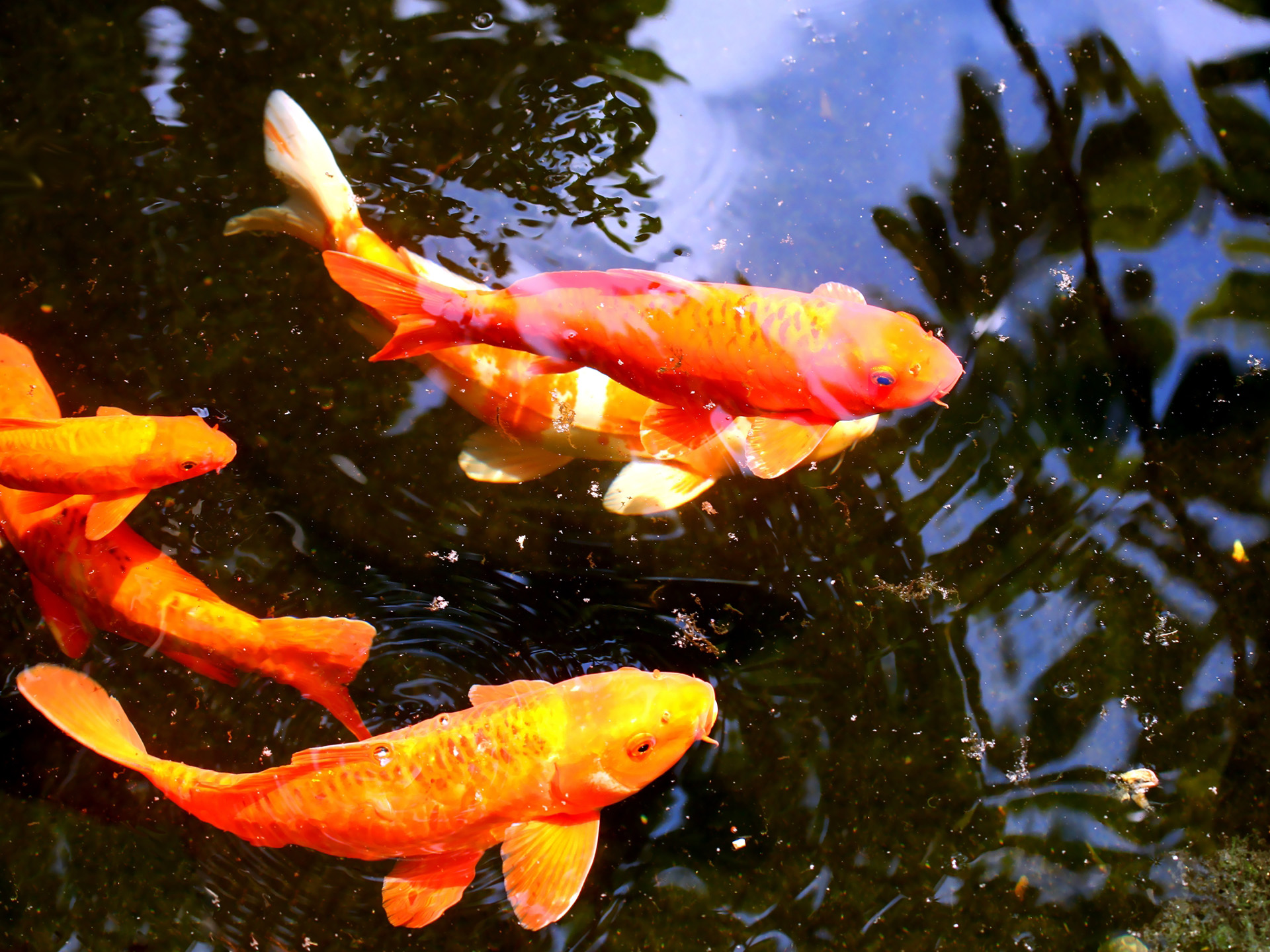 Koi wallpapers wallpapersafari for 3d fish wallpaper