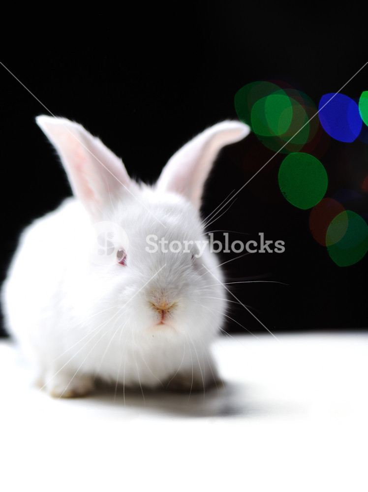 White beautiful rabbit Easter bunny on black background with 748x1000