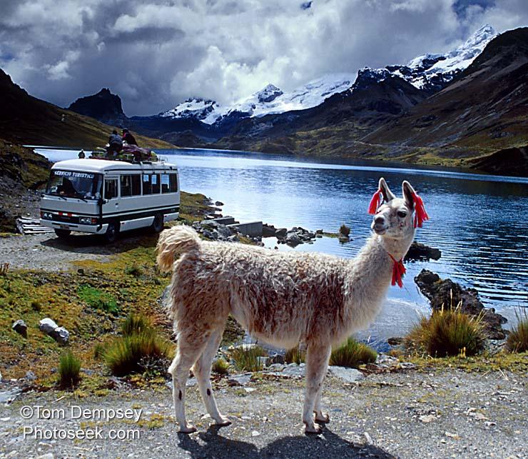 llama background 1 737060jpg 740x643