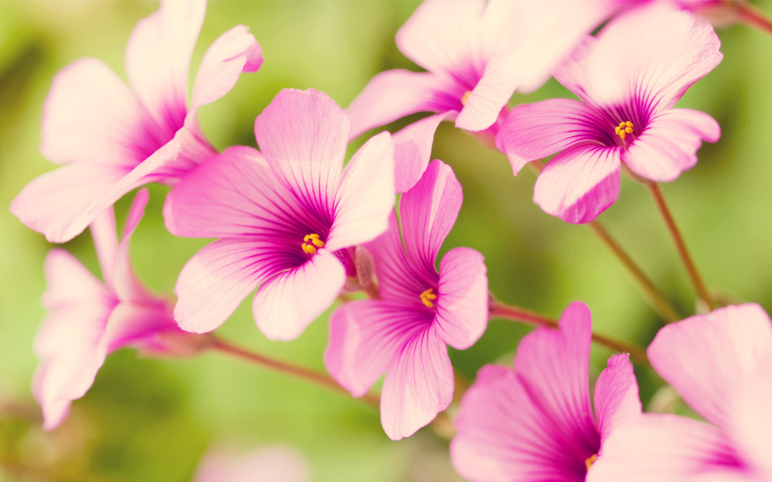 free wallpaper of flowers pretty Purple Verbena in the background of 2560x1600