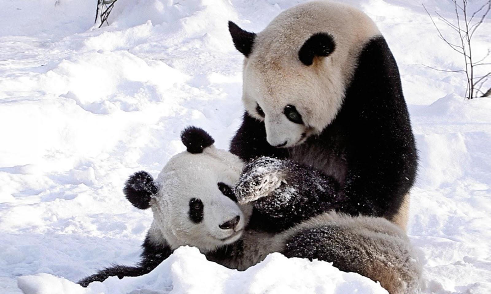 Cute Panda Bears HD Wallpapers Desktop Wallpapers 1600x960