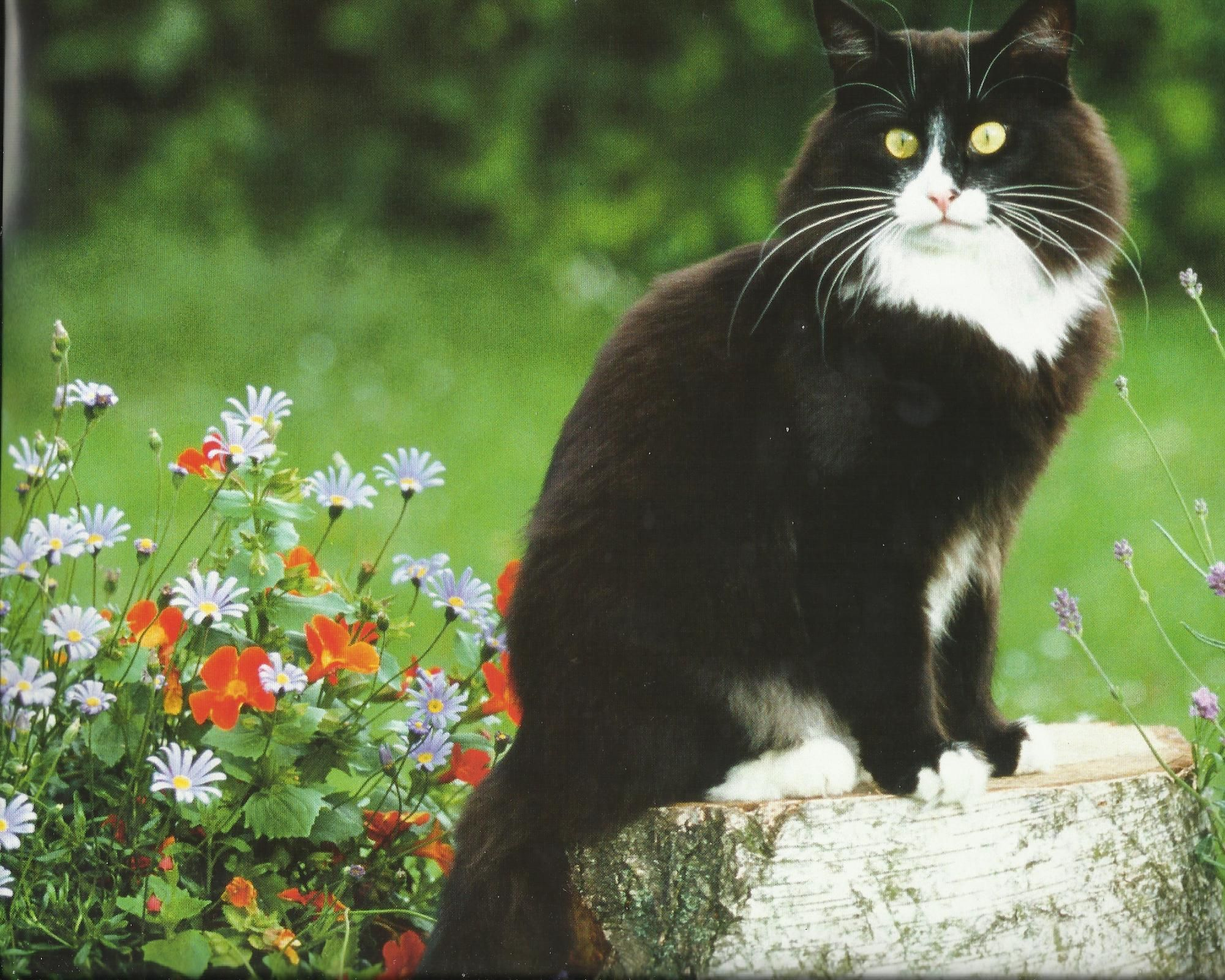 Tuxedo Cat Desktop Wallpaper Tuxedo Cat Images Cool Backgrounds 2000x1600