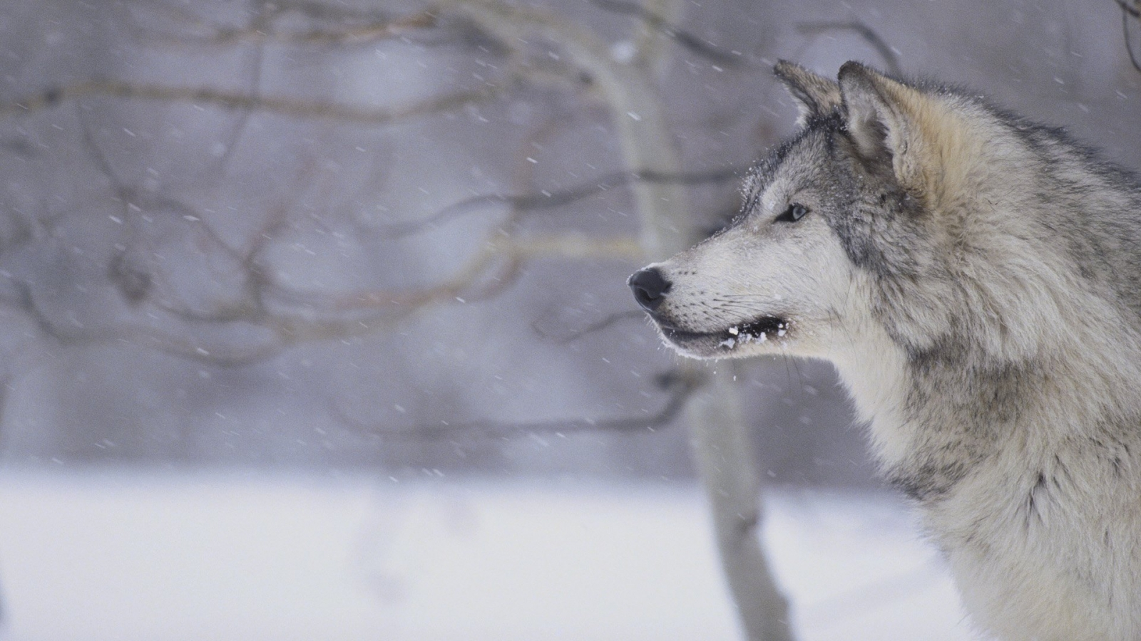 Wolf 1600x900 Wallpapers 1600x900 Wallpapers amp Pictures 1600x900