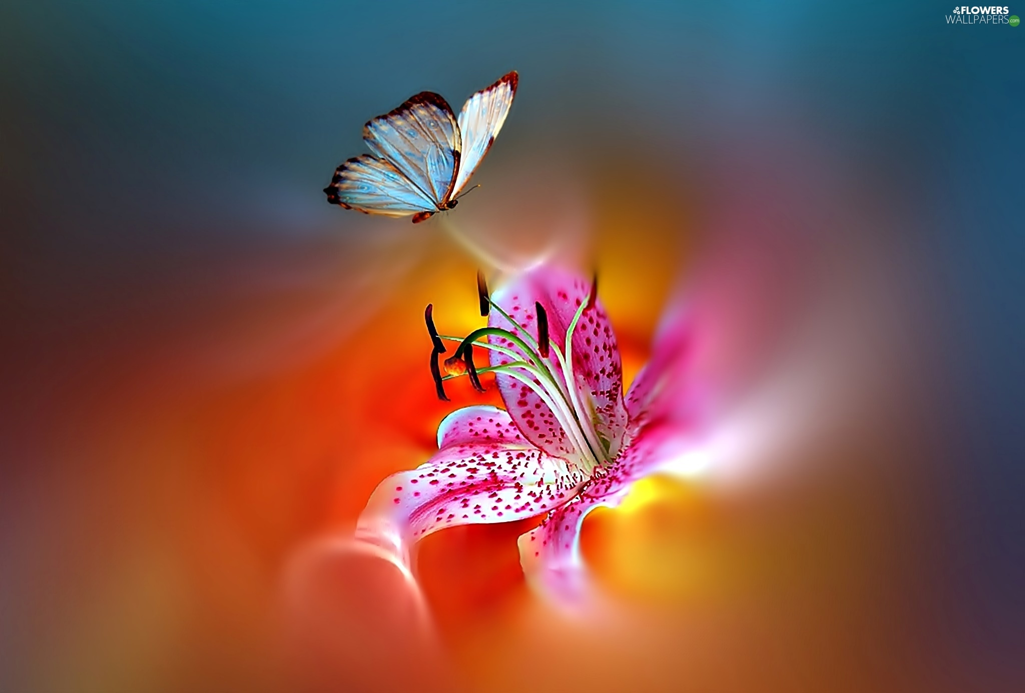 362a3cded Download butterfly Tiger lily Flowers wallpapers 2048x1386 ...