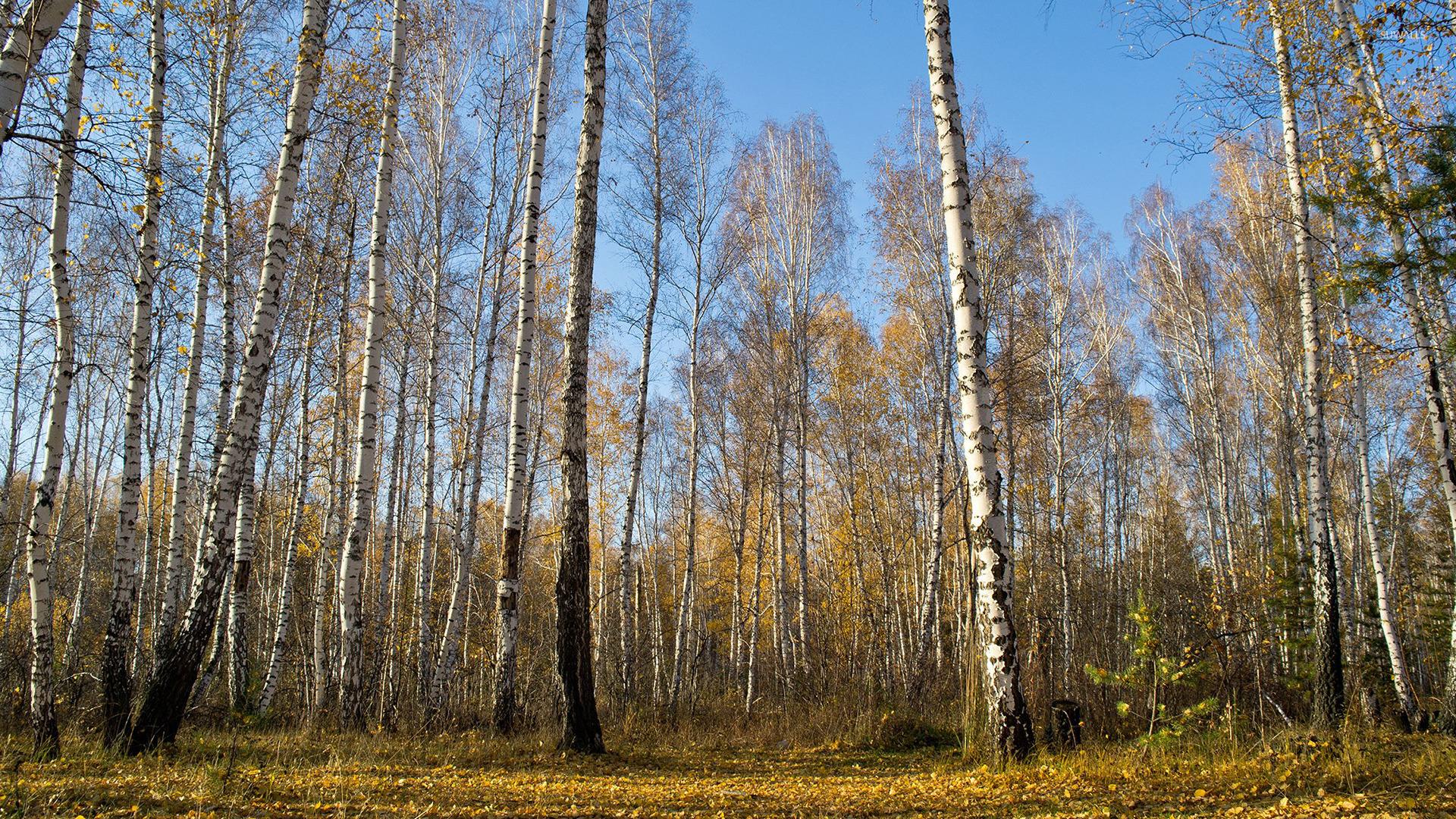 [50+] Wallpaper with Birch Trees on WallpaperSafari