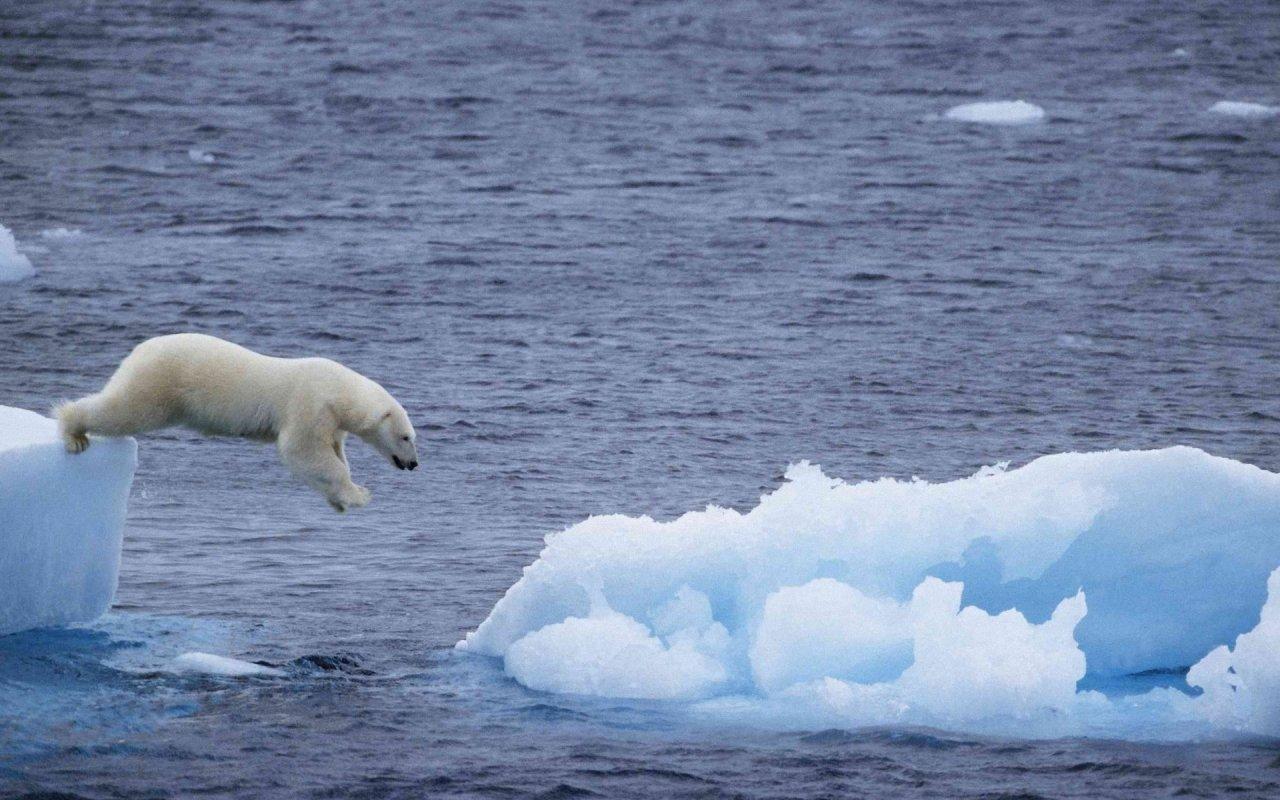 Polar Bear Wallpaper 1280x800 WallpapersPolar Bear 1280x800 1280x800