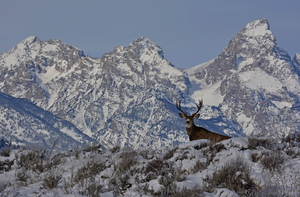 Lucky Mule Deer Buck With Tetons as Background   2851b Flickr 1023x672