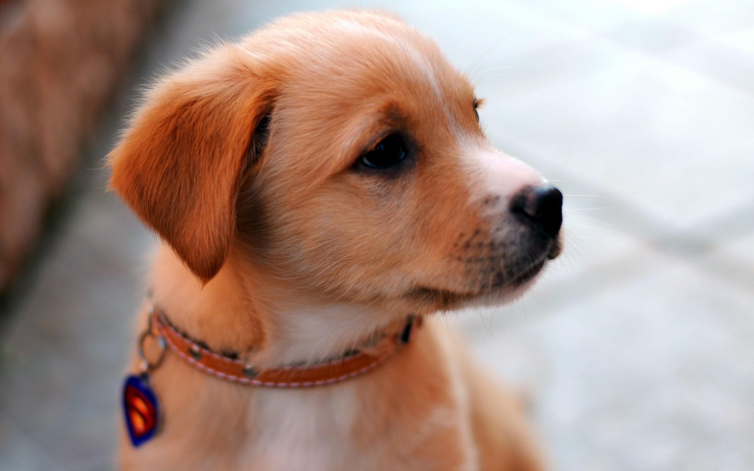 Beautiful Cute Dog High Resolution Wallpaper Desktop 2560x1600