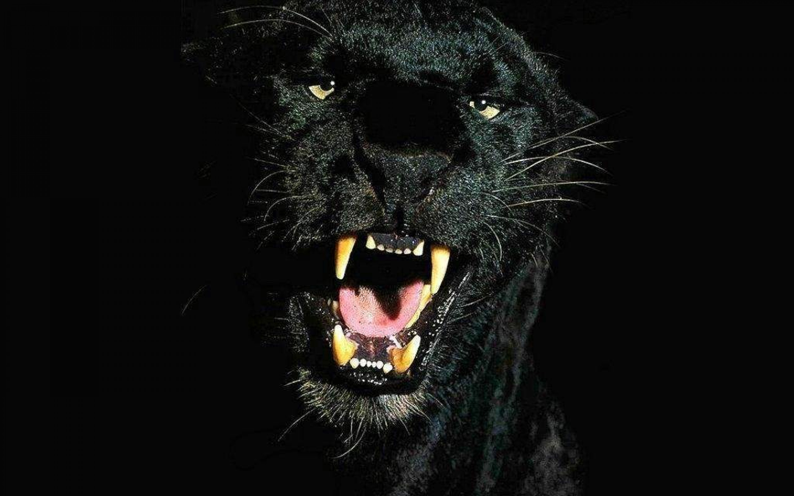 40 Black Leopard HD Wallpapers 1808 Black Leopard Hd 2560x1600