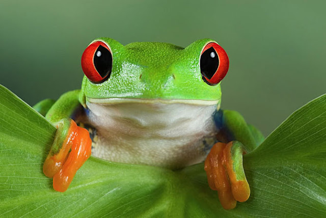 Cute Tree Frog Wallpaper Images Pictures   Becuo 640x428