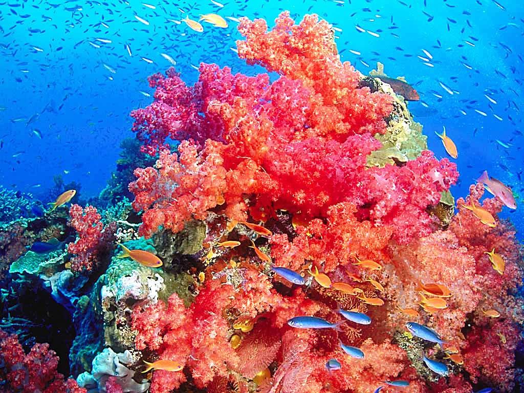 red coral reef wallpaper for ipad 21024x768ipad 2 wallpaper778jpg 1024x768