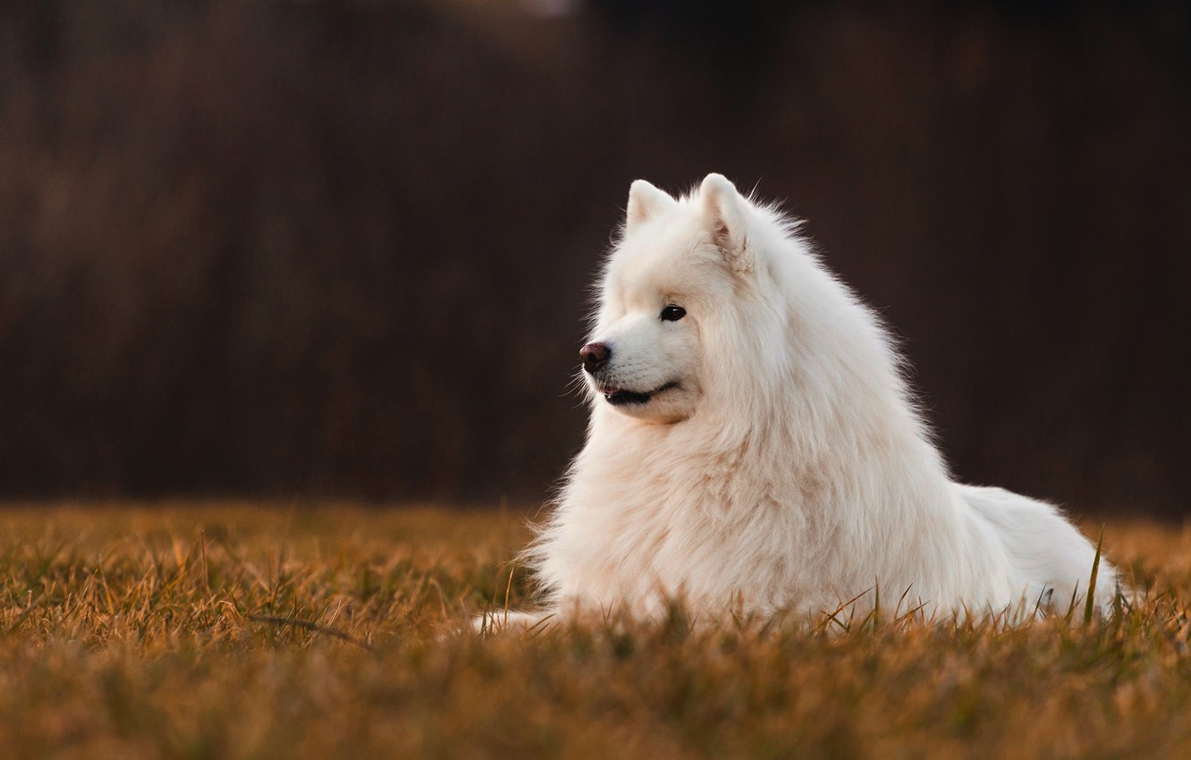 Wallpaper field the dark background dog Samoyed images for 1332x850