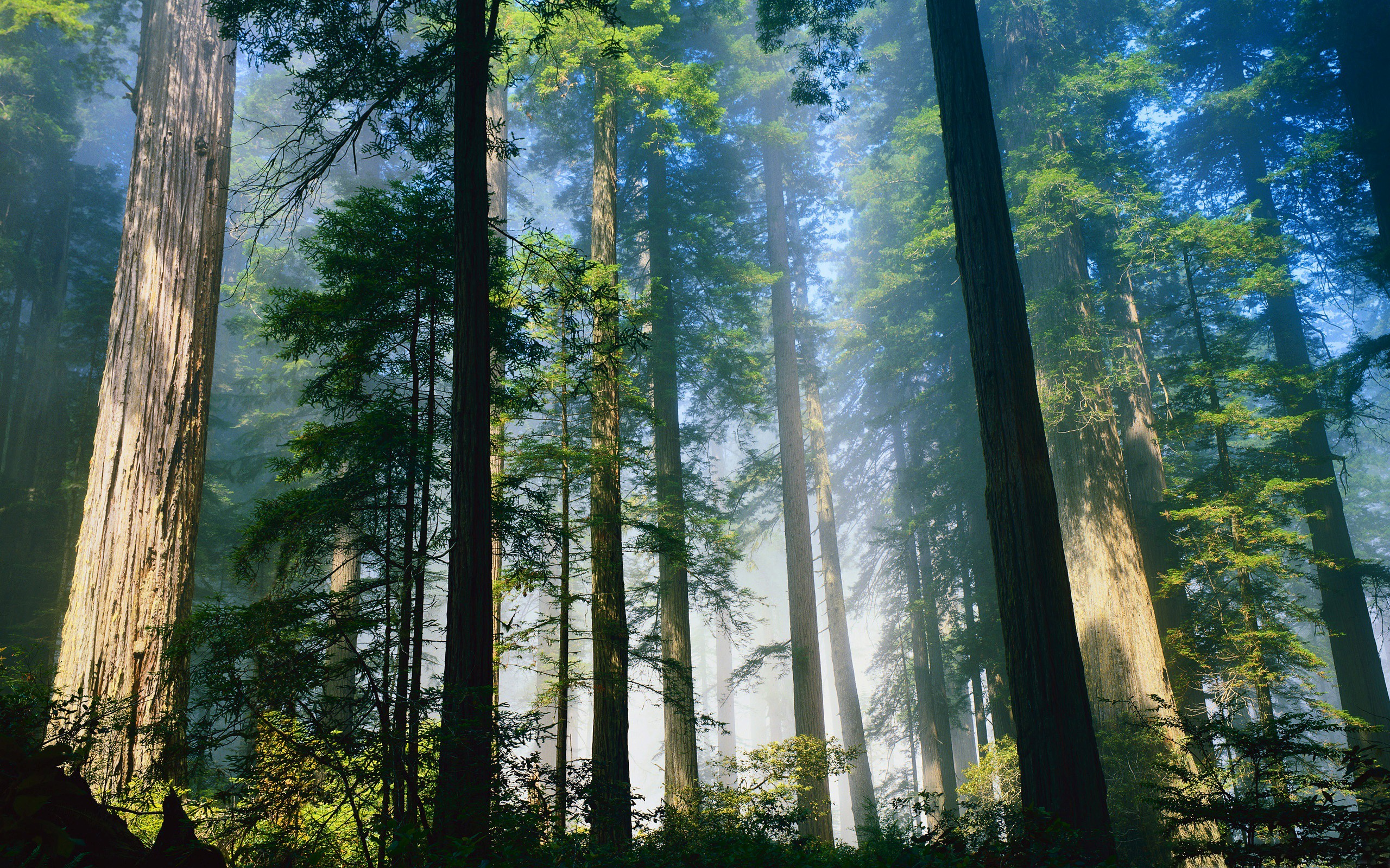 Redwood Forest HD Wallpaper 2560x1600