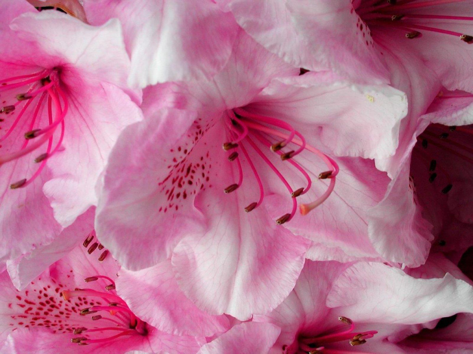 Beautiful pink flower petals Flowers and Nature computer desktop 1600x1200