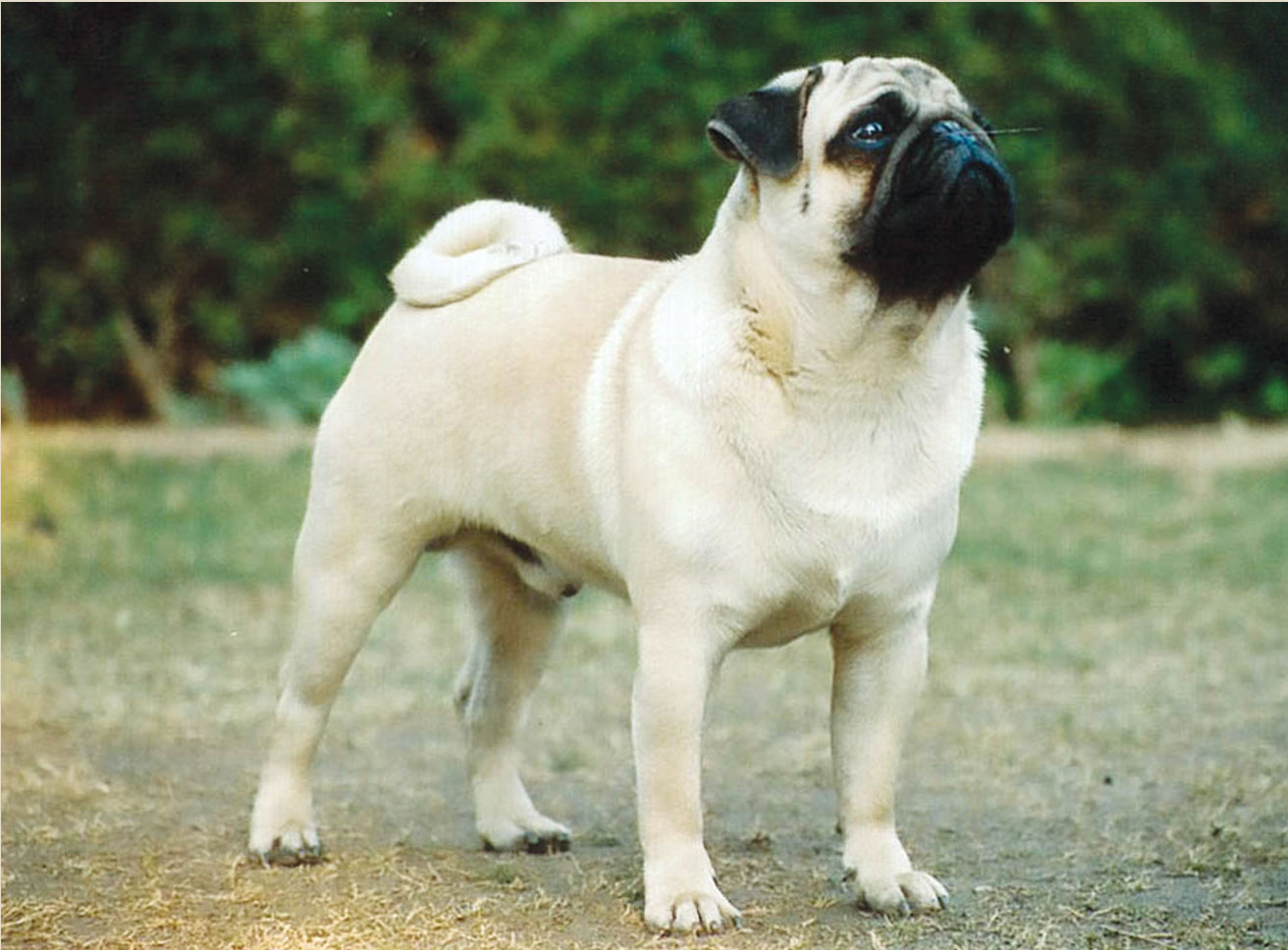 All Wallpapers Pug Dog Hd Wallpapers 1312x968